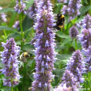 Agastache foe. 'Blue Fortune' 1