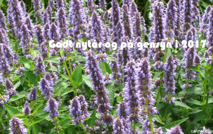 agastache-foe-blue-fortune