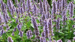 Agastache foe. 'Blue Fortune'