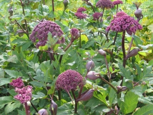 angelica-gigas-9381