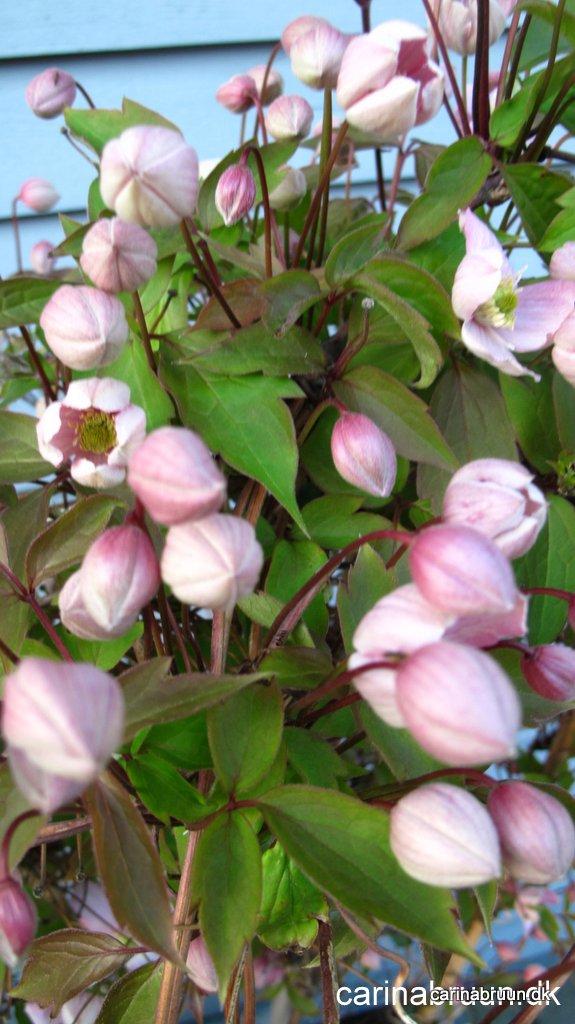 clematis montana 39 mayleen 39 carina bruuns blog. Black Bedroom Furniture Sets. Home Design Ideas