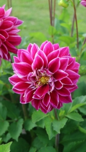 Dahlia 'Purple pearl'