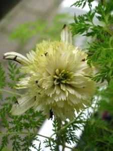 Echinacea 'Mozzarella'