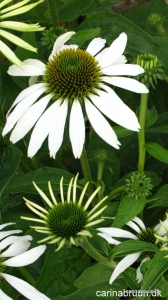 Echinacea purpurea 'Baby Swan White' haven