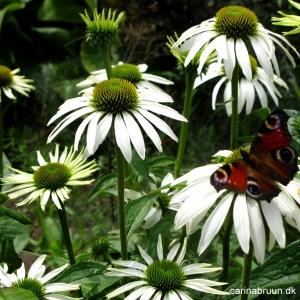 echinacea-purpurea-swan-white-og-sommerfuglen-dagpaafugleoeje-1