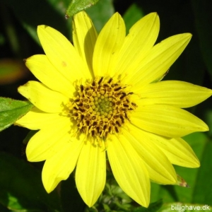Helianthus hybrid 'Lemon Queen'