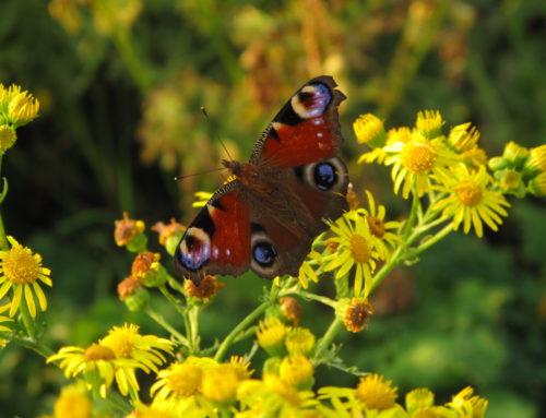 Sommerfugle i haven