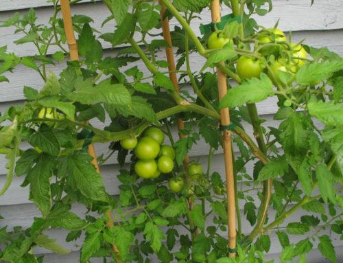 Afhærdning af tomater…