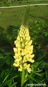 Lupinus polyphyllus 'Kronleuchter'