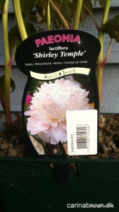 Paeonia lac. 'Shirley Temple'
