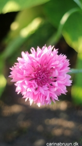 'Pink Ball'