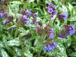 Pulmonaria hybrid 'Trevi Fountain'