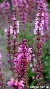 Salvia nemorosa 'Select Rosa'