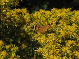 Tidsel sommerfugl 1