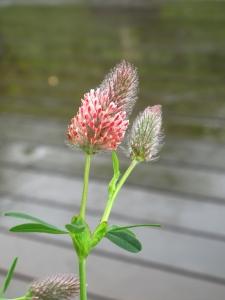 Trifolium 'Peachy Pink'