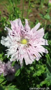 Valmue 'Lilac Pompon' 1