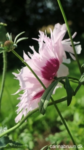Valmue 'Lilac Pompon' 4