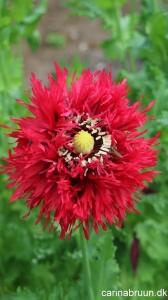 Valmue Papaver laciniatum 'Crimson feathers' - plante snor