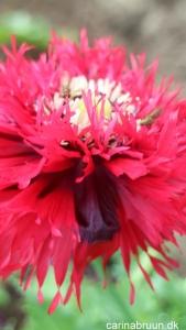 Valmue Papaver laciniatum 'Crimson feathers' - plante snor (5)