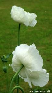 Valmue 'White Cloud' (2)