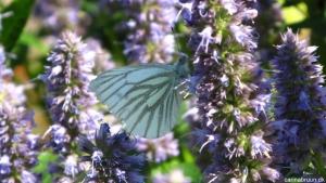 grønåret kålsommerfugl på Agastache foe. 'Blue Fortune' - Kopi