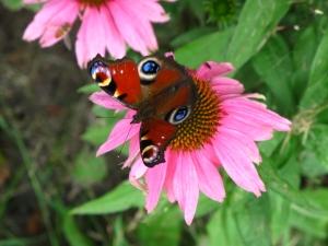 sommerfuglen Dagpåfugleøje og Echinacea purpurea 'Kim's Knee Knee High'